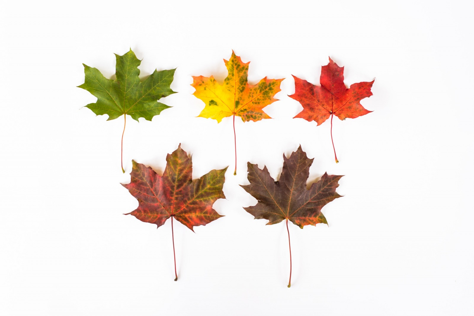 Multi-color fall leaves in an arrangement